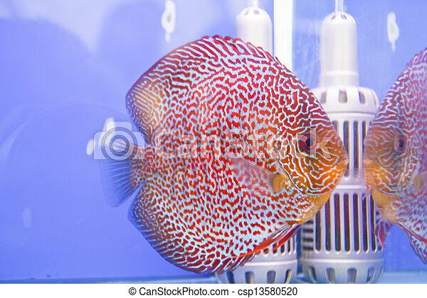 Discus fish - csp13580520