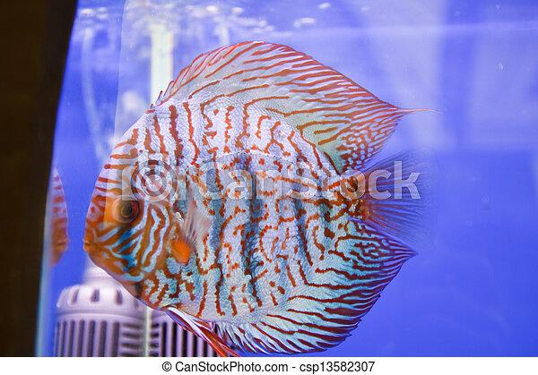 Discus fish - csp13582307
