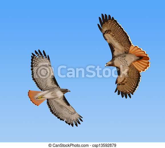 Red-tailed Hawks in flight - csp13592879
