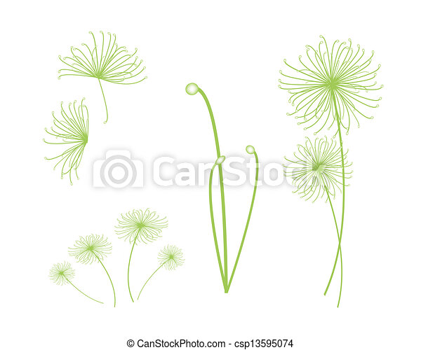 Papyrus Plant Drawing a Set of Cyperus Papyrus Plant