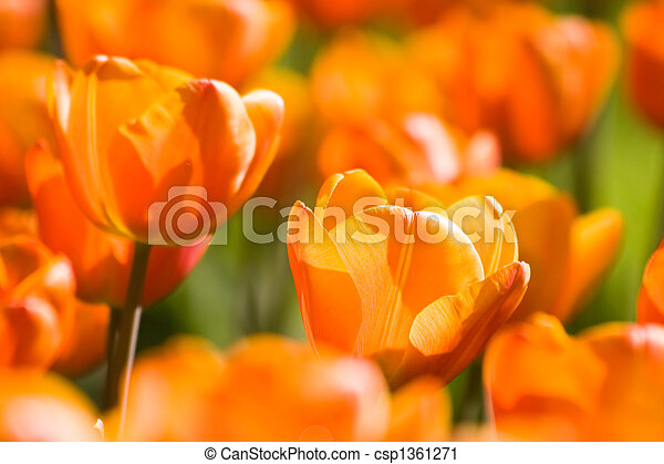Orange tulips in spring - csp1361271