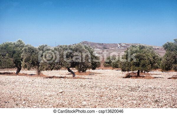 Cyprian  agriculture, landscape, olive tree on stone field - csp13620046