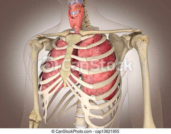Man skeleton with internal organs. 3 D digital rendering. - csp13621955
