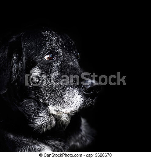 Animal - old dog - csp13626670