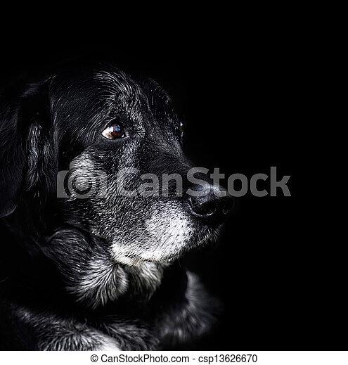 Animal - old dog - csp13626670