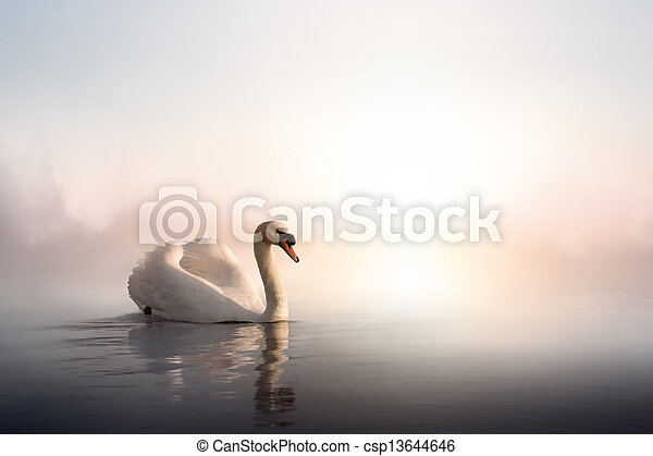 Art Swan floating on the water at sunrise of the day - csp13644646