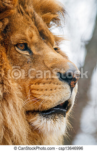 Lion Stock Photos Royalty Free Lion Images  Depositphotos