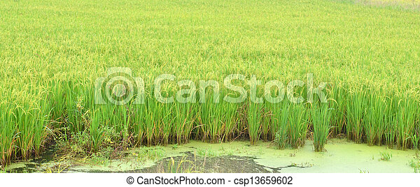 paddy agriculture - csp13659602