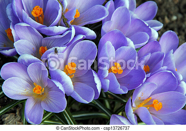 Flowers of purple Crocuses (Crocus vernus), soft focus.