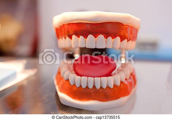 Model of human organs, teeth