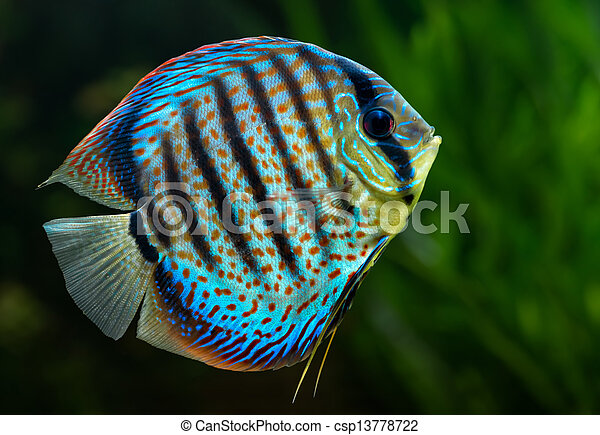 Discus, tropical decorative fish - csp13778722