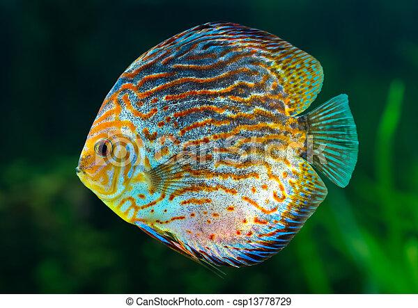 Discus, tropical decorative fish - csp13778729
