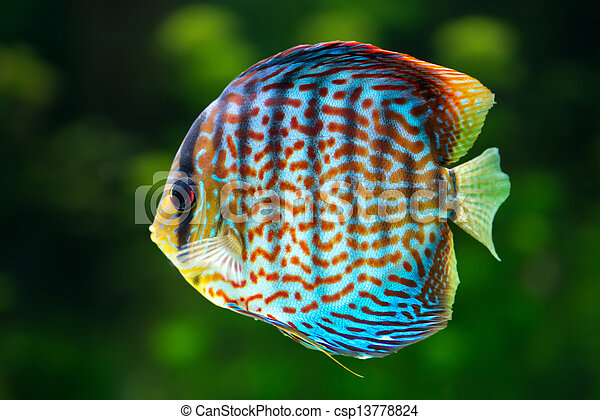 Discus, tropical decorative fish - csp13778824