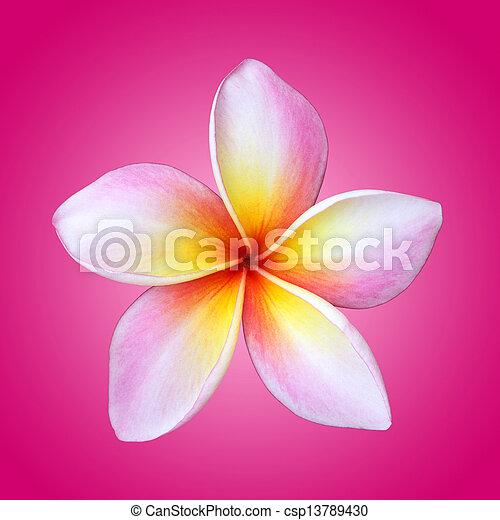 Plumeria flower isolated on pink - csp13789430