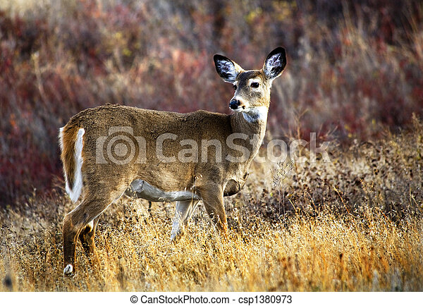 White Tail Deer National Bison Range Charlo Montana - csp1380973