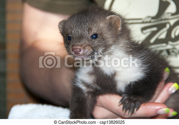 stock photo of a stone marten baby in hand a stone. Black Bedroom Furniture Sets. Home Design Ideas