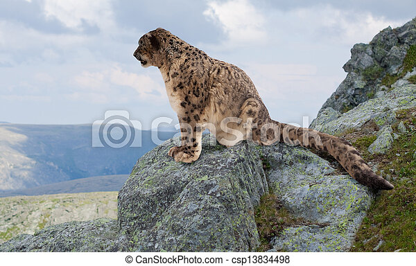 Snow leopard at wildness area - csp13834498