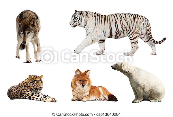 Set of Carnivora mammal. Isolated over white  - csp13840284