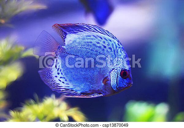 Discus fish - csp13870049
