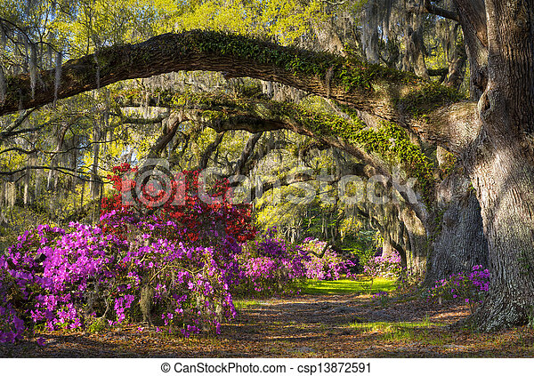 Charleston SC Spring Bloom Azalea Flowers South Carolina Plantation Garden under live oaks and spanish moss - csp13872591