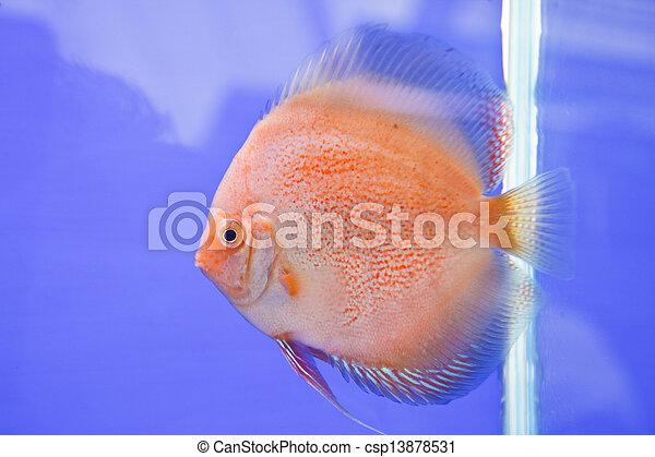 Discus fish - csp13878531