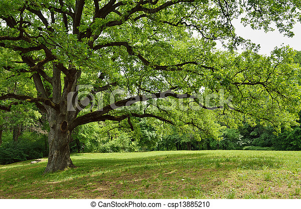 Oak Tree in Park - csp13885210