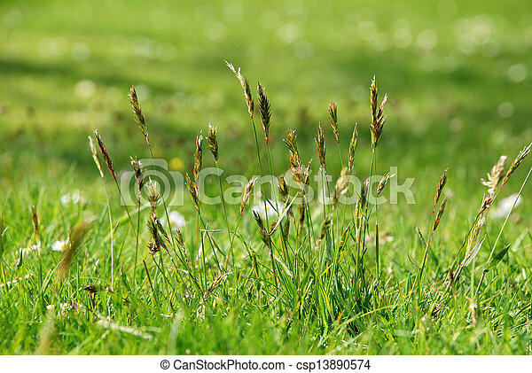 Detail of tall grasses in a meadow - csp13890574