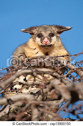 brush tail possum in tree - csp13900150