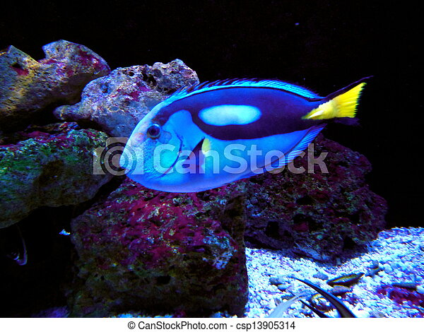 pacific blue tang dory  Stock Photography of Pacific
