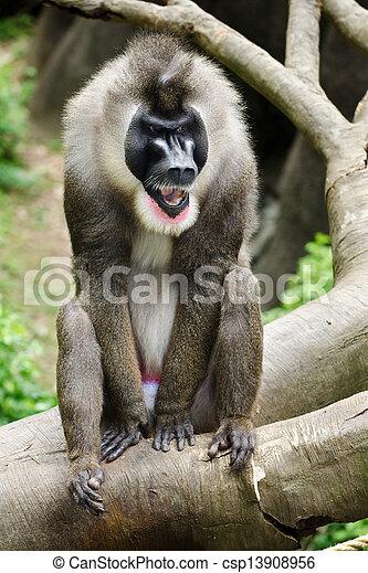 Portrait of male baboon - csp13908956