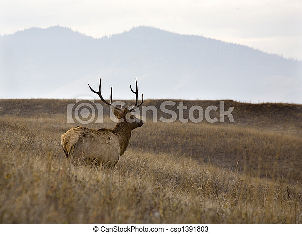 Male Elk with Rack of Horns in Meadow National Bison Range Charlo Montana - csp1391803