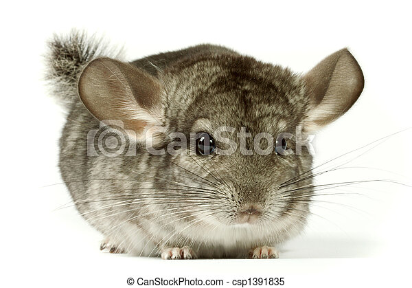 chinchilla - csp1391835