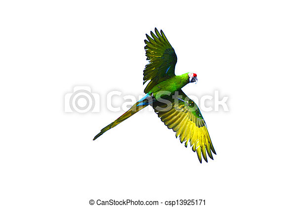 Green Parrot Photography Flying Green Parrot Isolated
