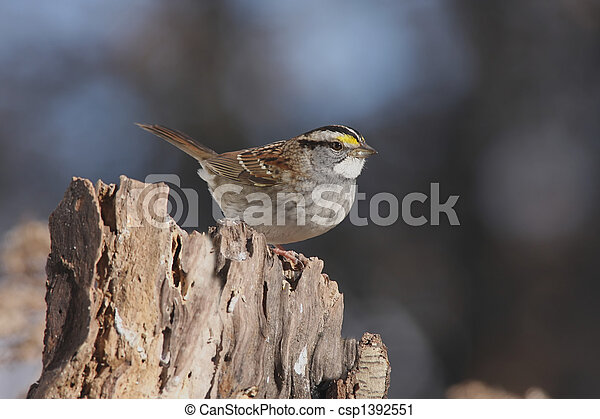 White-throated Sparrow  - csp1392551