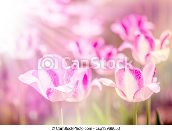 Defocus beautiful purple flowers - tulips - csp13969053