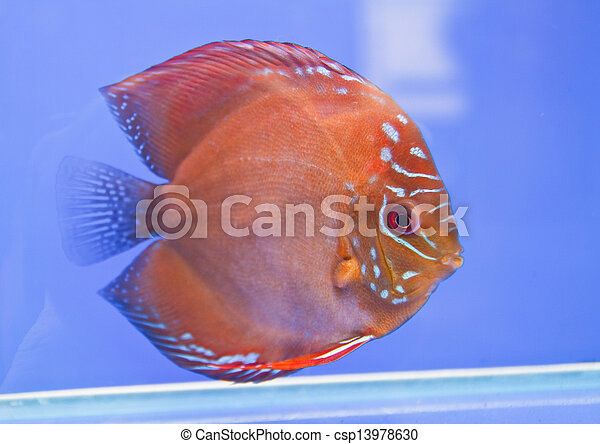 Discus fish - csp13978630