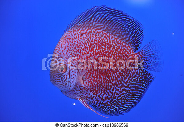 discus in an aquarium on a blue background - csp13986569