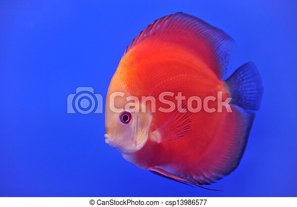 discus in an aquarium on a blue background - csp13986577