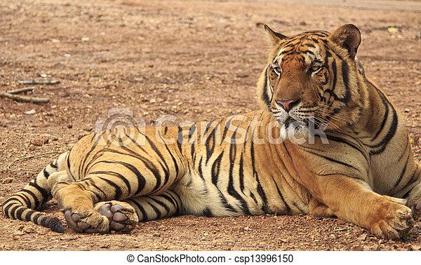 stock bilder von tiger basierend csp13996150 suchen sie fotos abbildungen fotografien und. Black Bedroom Furniture Sets. Home Design Ideas
