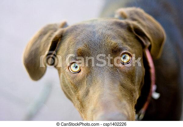 Chocolate Lab eyes - csp1402226