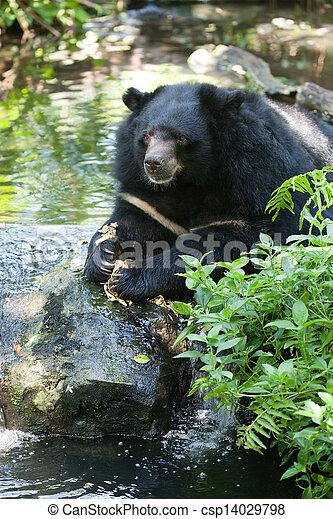 Asiatic black bear - csp14029798