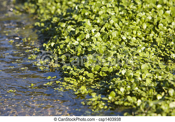 Watercress Growing In Bed - csp1403938