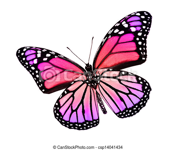 Butterfly Drawings With Color Pink Color butterfly   isolated on