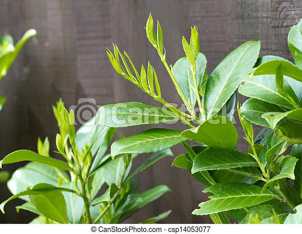 bilder von kleingarten fruehjahr busch wachsen lorbeer. Black Bedroom Furniture Sets. Home Design Ideas
