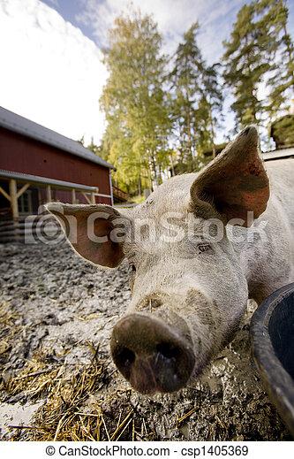 Curious Pig - csp1405369