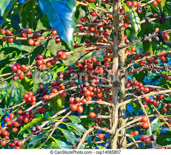 Coffee trees - csp14065807