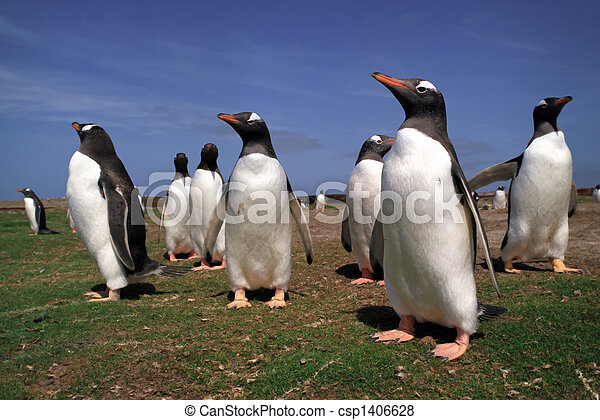 Colony gentoo penguins in Falkland islands - csp1406628