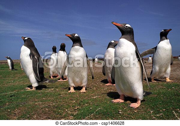 Colony gentoo penguins in Falkland islands - csp1406628