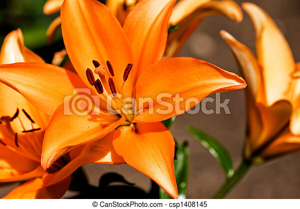 Orange Lilly - csp1408145