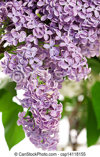 Lilac bush in the spring - csp14118155
